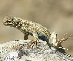 dune-sagebrush-lizard.jpeg